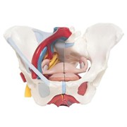 Модель женского таза со связками, сосудами, нервами, мышцами тазового дна и органами