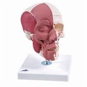 Модель черепа с лицевыми мышцами