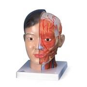 Модель головы и шеи класса Люкс, азиатского типа, 4 части