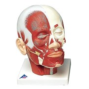 Модель мышц головы