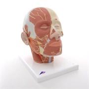 Модель мышцы головы с нервами