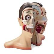 Модель головы и шеи, 5 частей