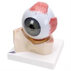 Модель глаза, 5-кратное увеличение, 7 частей - фото 7519