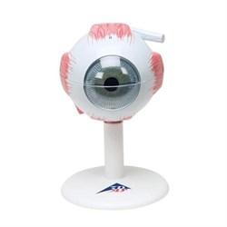 Модель глаза, 3-кратное увеличение, 6 частей