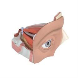 Модель глаза, 5-кратное увеличение, 12 частей