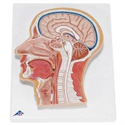 Модель срединного сечения головы