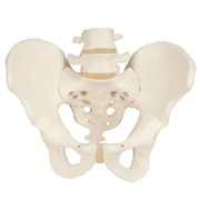 Модель скелета мужского таза